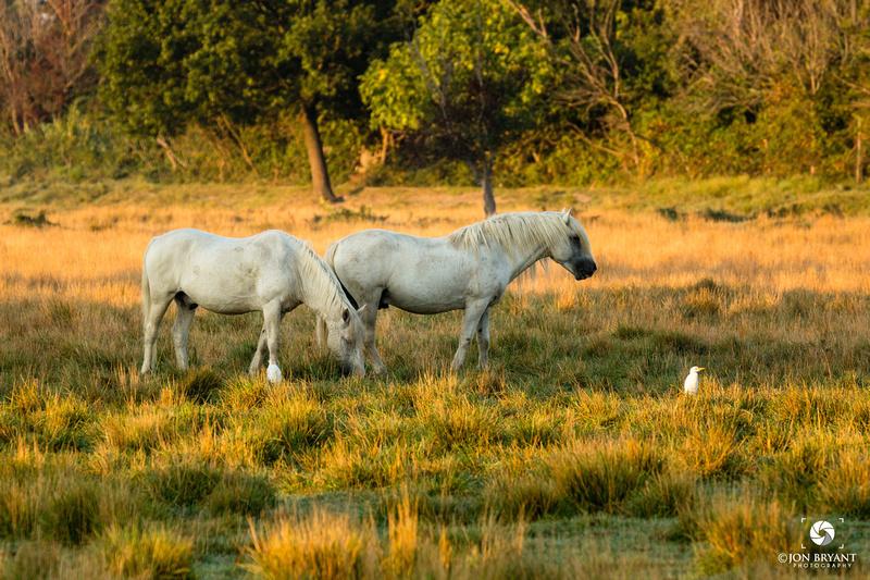 Camargue Wild Horse
