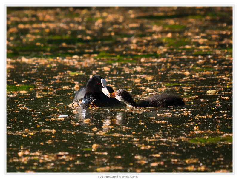 In other sections of the lake some of the coot chicks were bigger having hatched earlier.