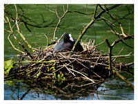 Many nests were sighted around the banks of the lake at various levels of incubation.