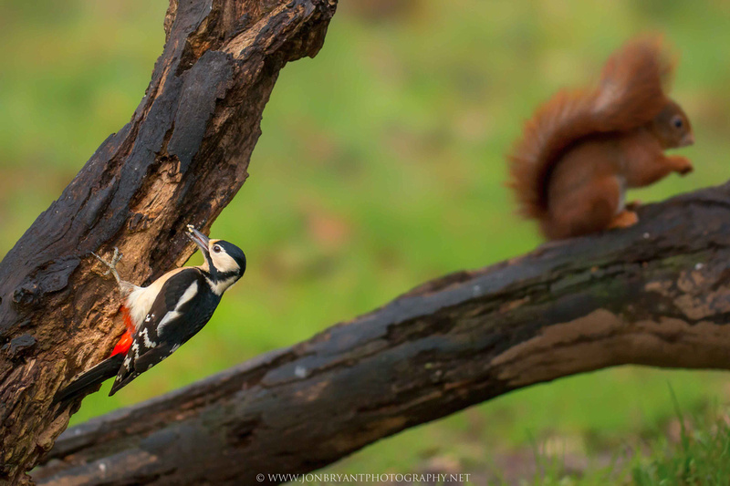 The woodpecker and the squirrel